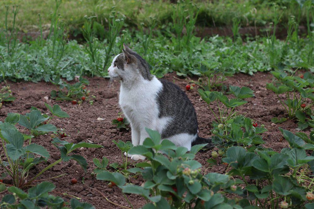 Katze im Gartenbeet, Plectranthus caninus