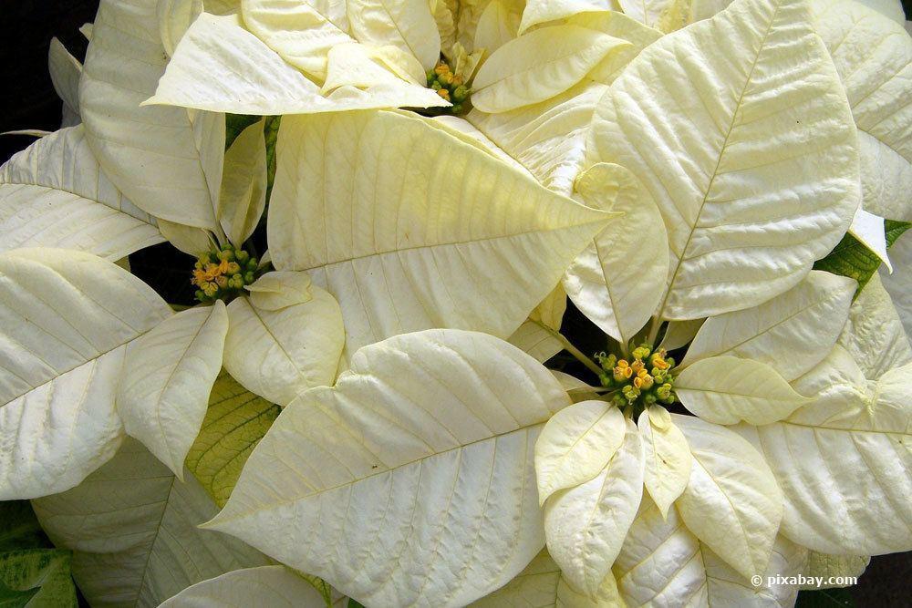 Weihnachtsstern mit weißen Hochblättern