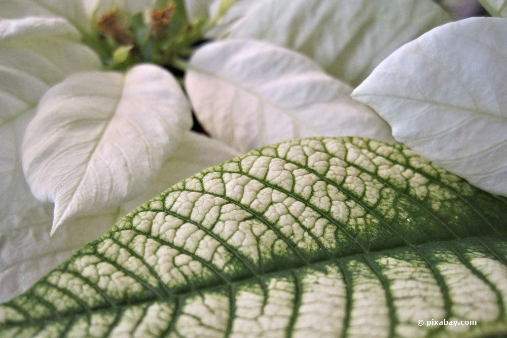 Weihnachtsstern mit grün-weißen Blättern