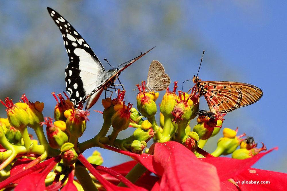 Weihnachtsstern und Schmetterlinge