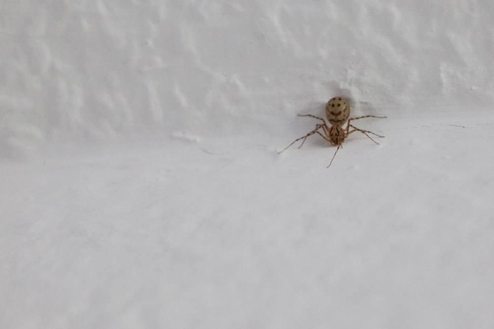 Spinne ist ein Fressfeind der Weißen Fliege