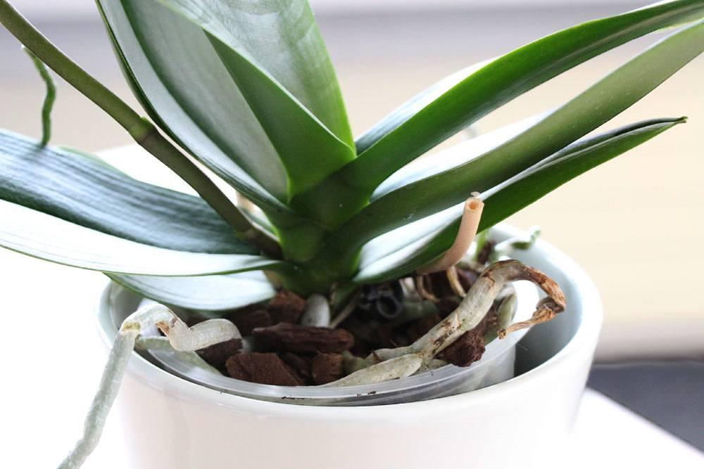 Orchideen mit vielen Luftwurzeln ohne Topf kultivieren
