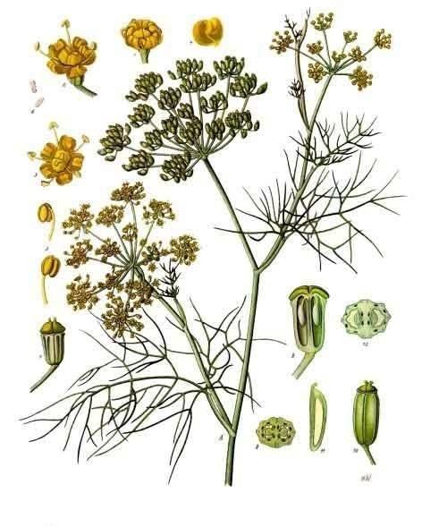 Bildtafel Fenchel aus Köhlers Medizinal Pflanzen