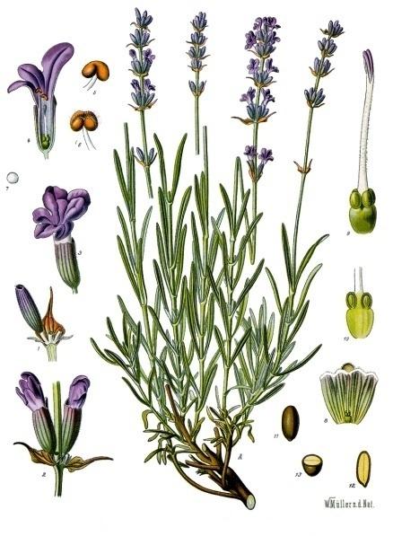 Bildtafel Lavendel aus Köhlers Medizinal Pflanzen