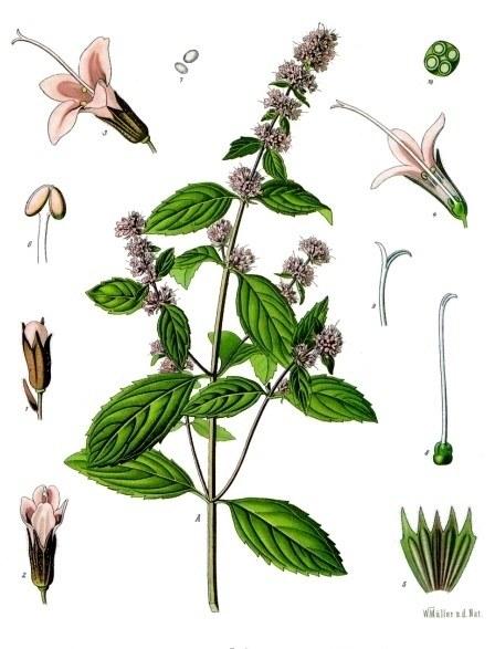 Bildtafel Pfefferminze aus Köhlers Medizinal Pflanzen
