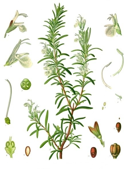 Bildtafel Rosmarin aus Köhlers Medizinal Pflanzen