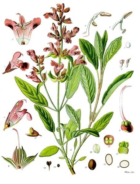 Bildtafel Salbei aus Köhlers Medizinal Pflanzen
