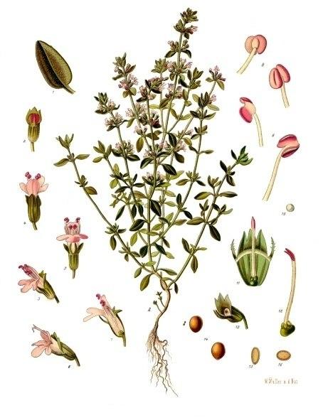 Bildtafel Thymian aus Köhlers Medizinal Pflanzen