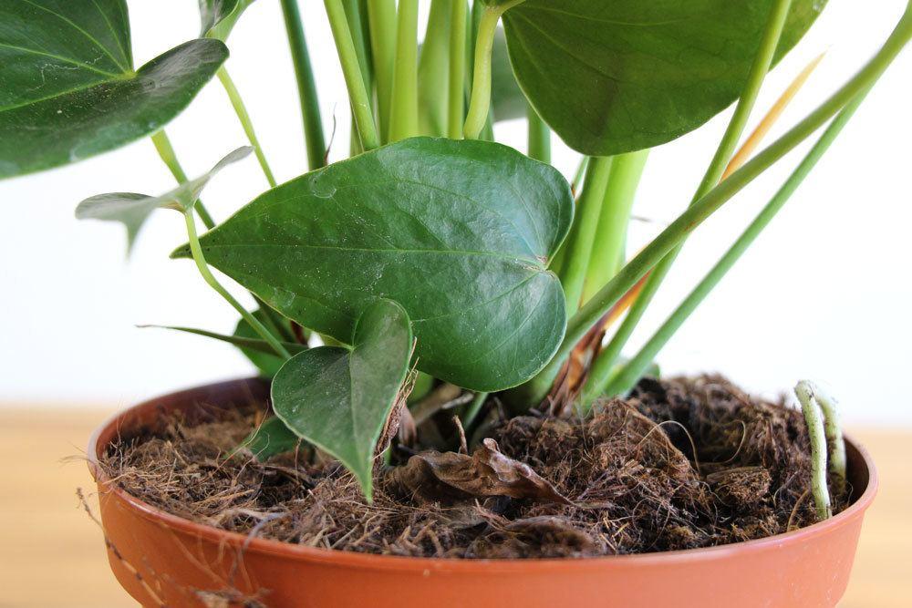 falsches Substrat kann gelbe Blätter bei Anthurien hervorrufen