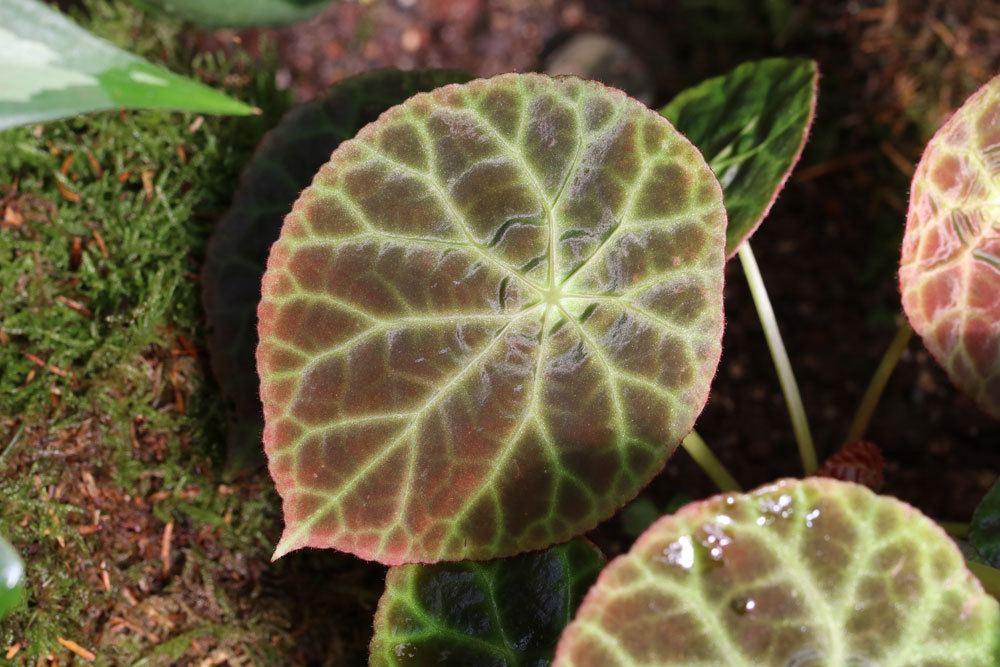 Begonia geogoensis, Schiefblatt