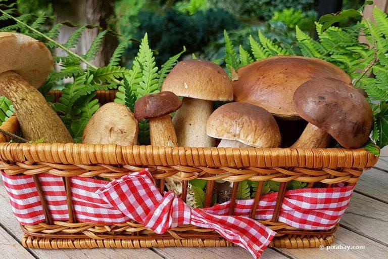 die beliebtesten, heimischen, essbaren Pilze