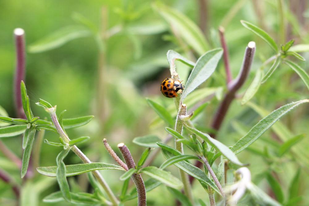 Marienkäfer auf einem Bohnenkrautblatt
