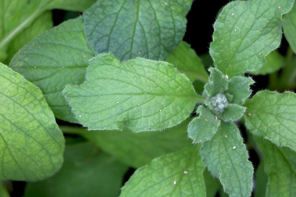 Borretsch wird als Gewürzpflanze verwendet