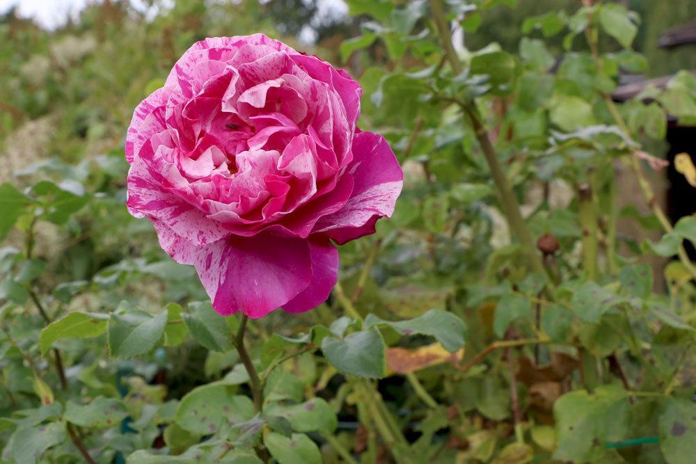 Rose im Gartenbeet