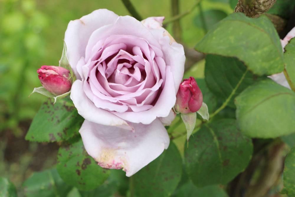 Braune Flecken auf Rosenblättern