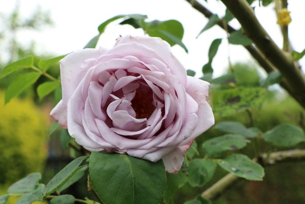 Rose eine beliebte Pflanze im Garten