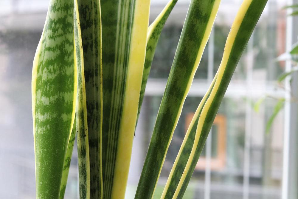 Sansevieria trifasciata, Bogenhanf