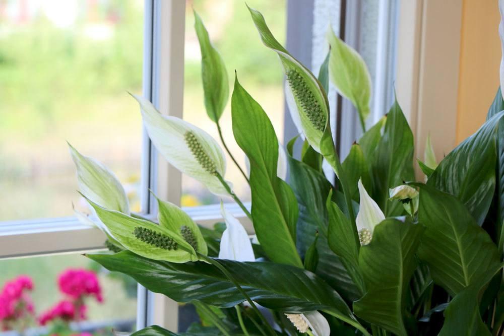 Spathiphyllum, Einblatt