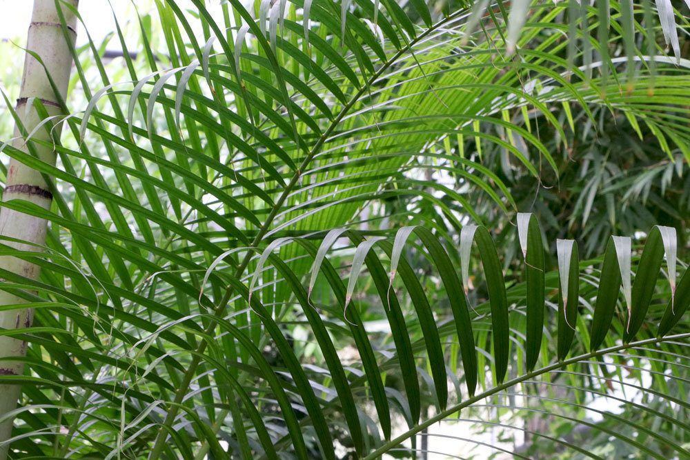 Chrysalidocarpus lutescens, Goldfruchtpalme