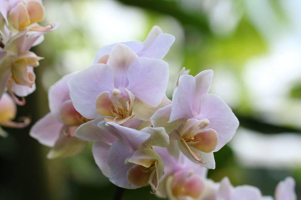Orchidee mit rosafarbener Blütenfarbe