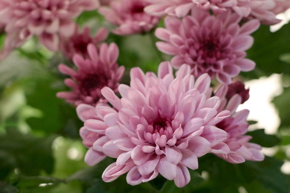 Chrysanthemen mit vollen Blüten