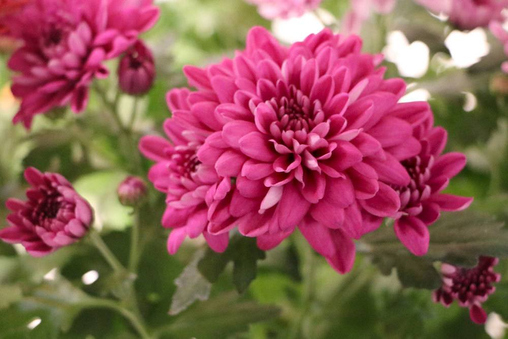 Chrysanthemen, Chrysanthemum