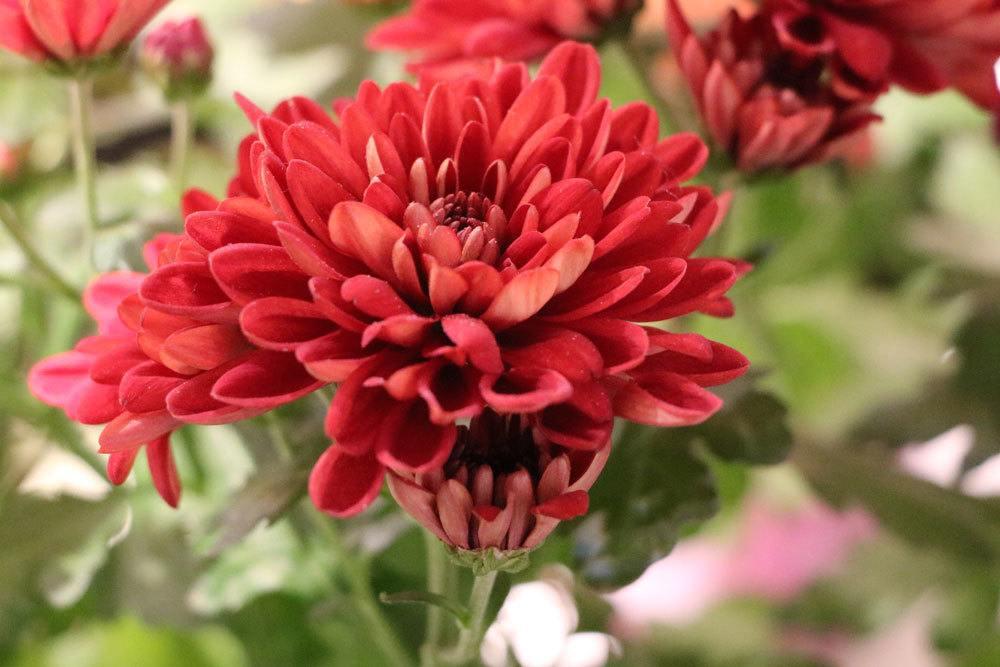Chrysanthemen überwintern