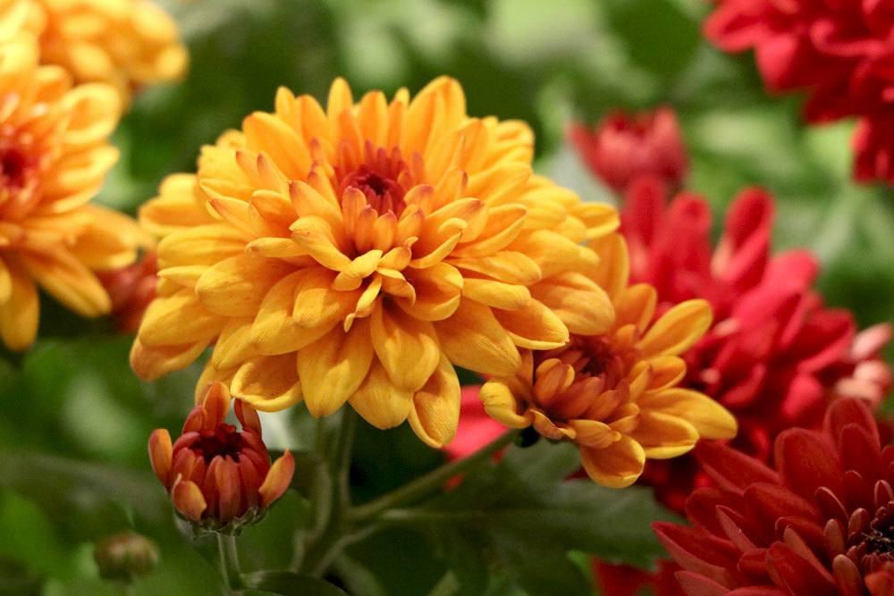 Chrysanthemen eignen sich auch als Grabbepflanzung
