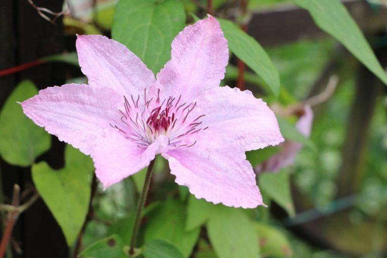 Clematis ist eine schöne Kletterpflanze
