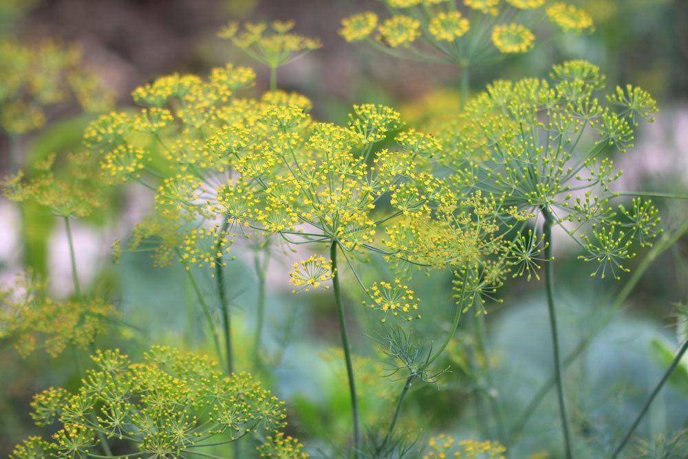 Doppeldolden mit den charakteristischen gelben Blüten