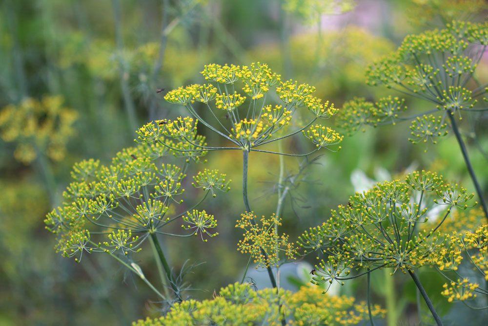 Dill wurde schon im alten Ägypten als Heil- und Gewürzpflanze verwendet