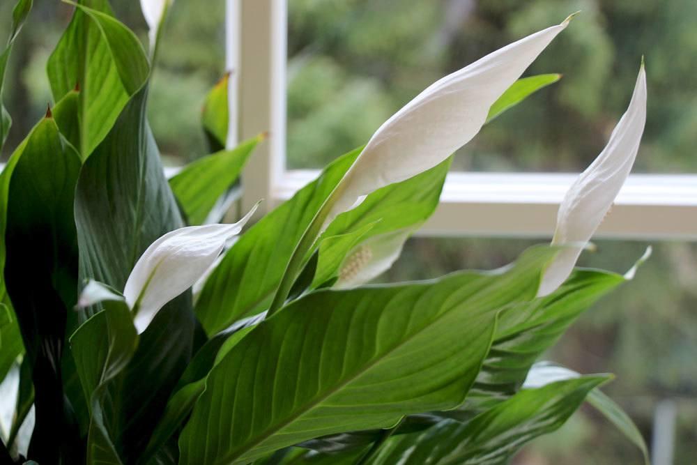 einblatt spathiphyllum bekommt braune bl tter das hilft jetzt. Black Bedroom Furniture Sets. Home Design Ideas