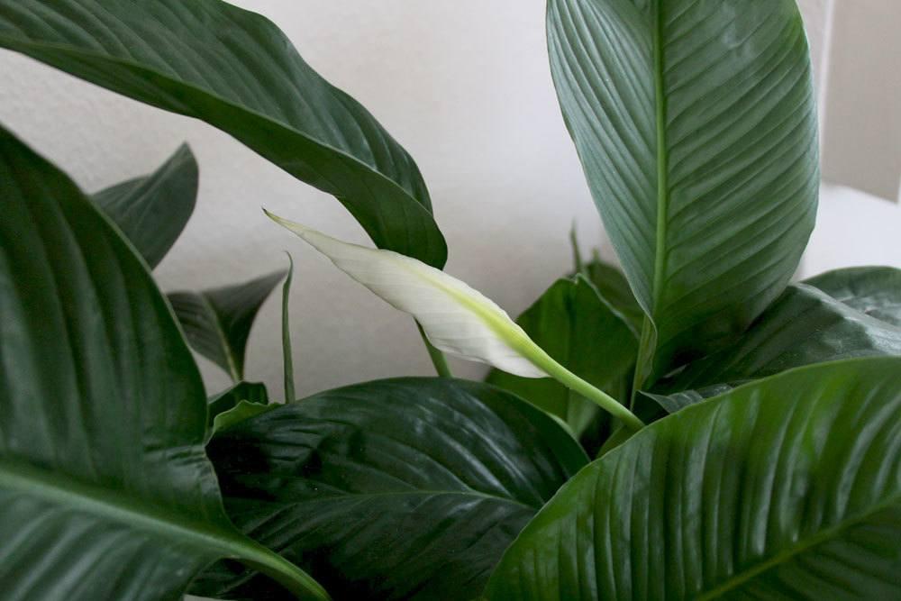 Einblatt auch Spathiphyllum stammt aus dem tropischen Regenwald