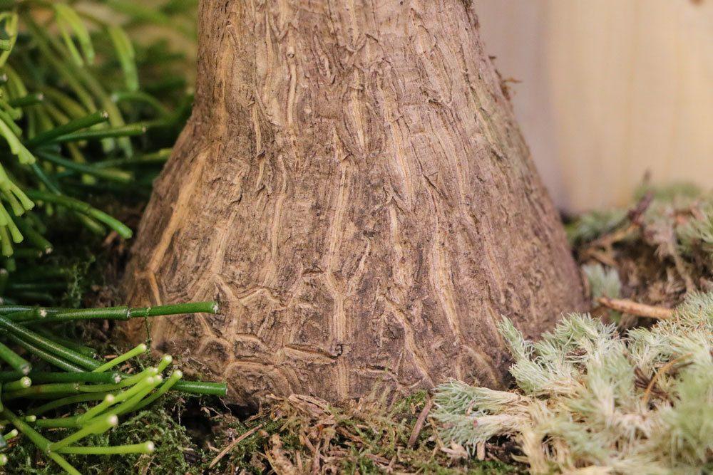 Elefantenfuß mit verdicktem Stammfuß, Zimmerpflanze