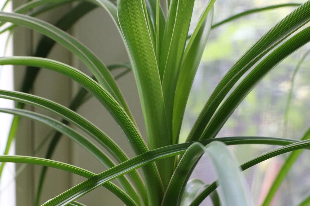 Elefantenfuß mit gesunden, grünen Blättern