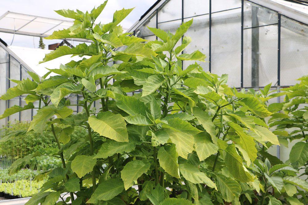 Engelstrompete ist eine sehr dekorative Pflanze