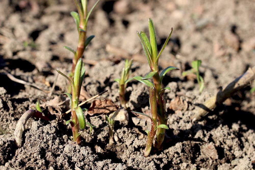 Estragon mag nährstoffreiche Böden