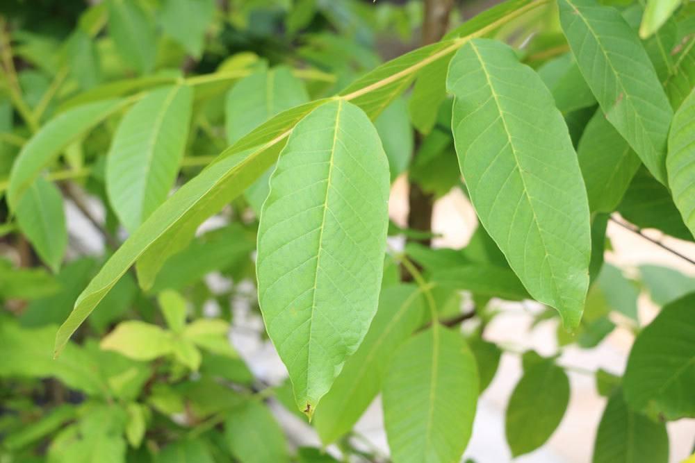 Walnussbaum mit gesunden, grünen Blättern