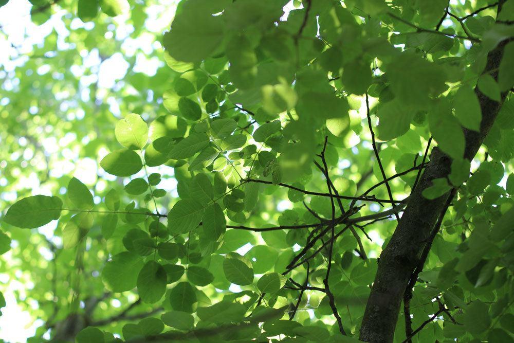 Walnussbaum reagiert empfindlich auf Spätfröste