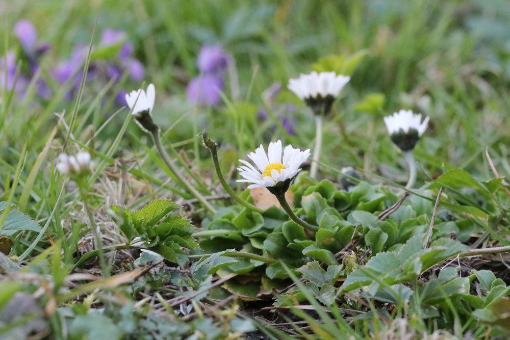 Gänseblümchen findet man oft als Wildkraut in der freien Natur