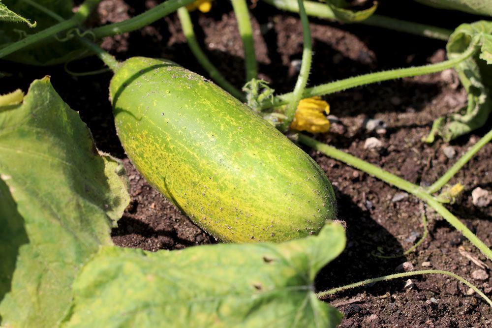 gelbe Gurke im Gemüsebeet