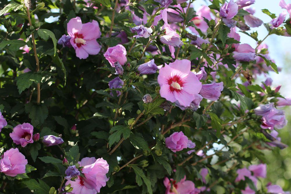 Hibiskusa auch als Hecke im Garten