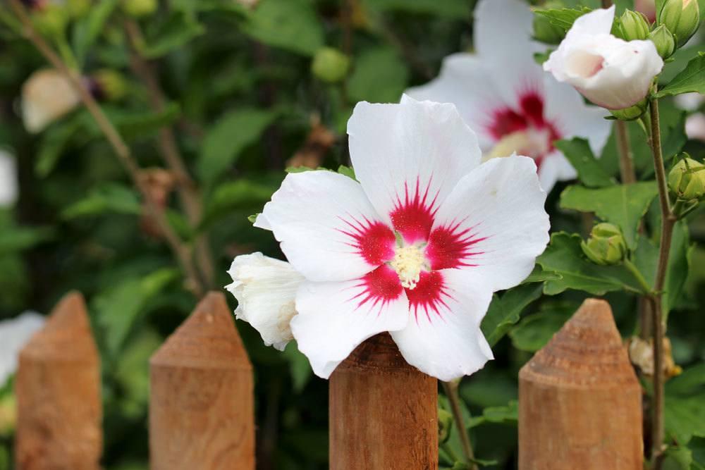 Hibiskus ist eine beliebte und sehr dekorative Pflanze