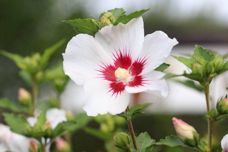 Hibiskus richtig vermehren