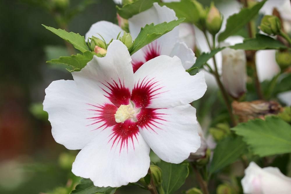 Hibiskus mit rot-weißer Blüte
