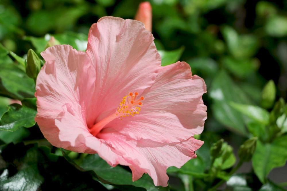 große, geöffnete Hibiskusblüte