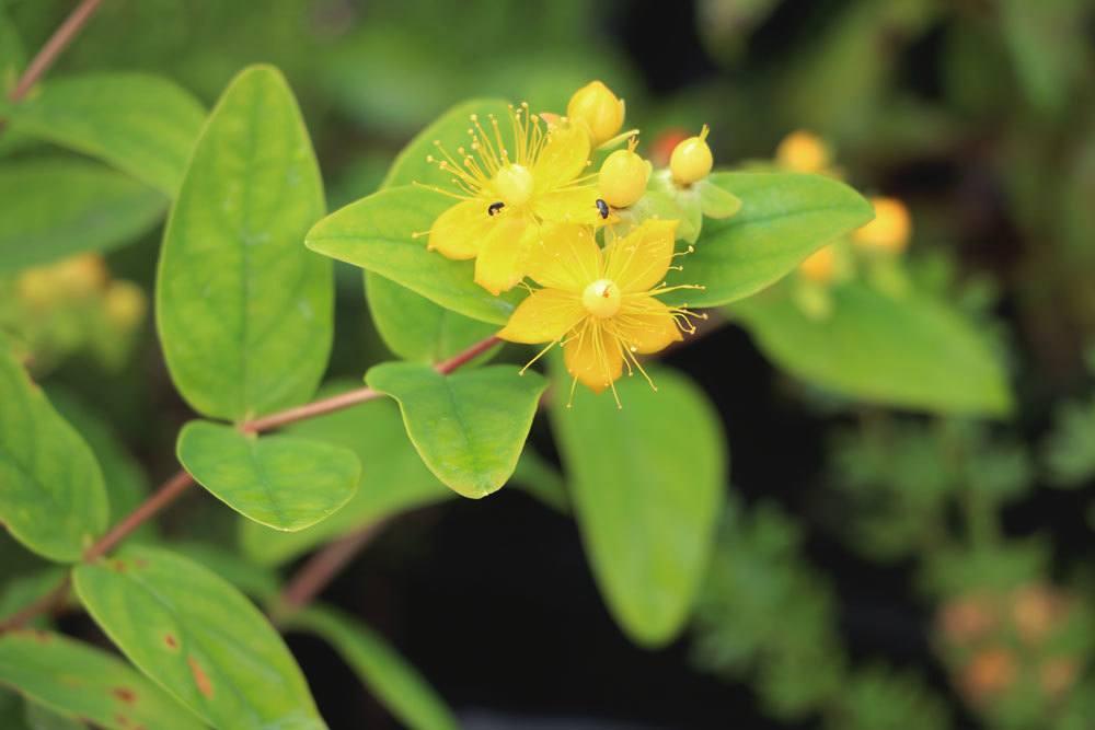 Johanniskraut, Hypericum perforatum