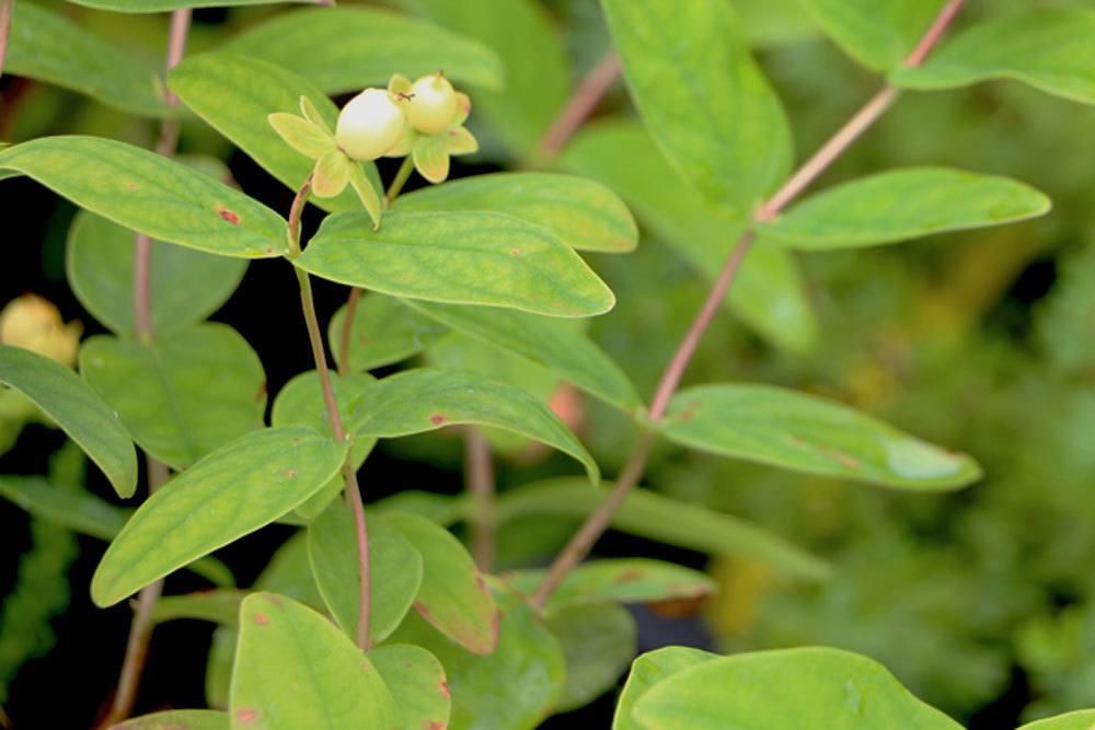 Johanniskraut ist die Arzneipflanze des Jahres 2015