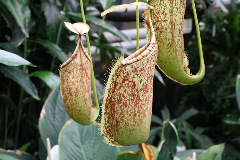 Kannenpflanzen, Nepenthes