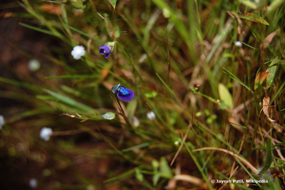 Grasartiger Wasserschlauch, Utricularia graminifolia